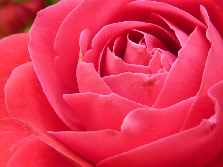 plant-flower-petal-bloom-rose-red-color-colorful-pink-beautiful-floribunda-rose-bloom-macro-photography-valentine's-day-flowering-plant-garden-roses-rose-family-land-plant-rosa-centifolia-1155411